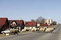 Ovce se potulují volně po Běstvině, překážejí i dopravnímu provozu na silnici.