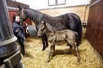 Ve slatiňanském hřebčíně se představila klisnička Regencia. Narodila se 11. února hodinu po půlnoci a je prvním letošním hříbětem Národního hřebčína v Kladrubech nad Labem.