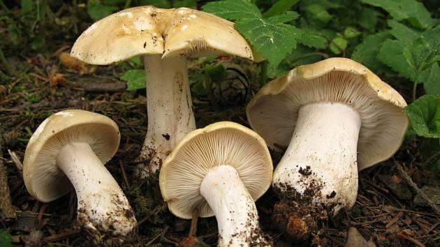 Čirůvka májovka (Calocybe gambosa).