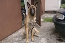 V sobotu 13.září se ztratil v lese u Stojic pes, jde o štěně belgického ovčáka Malinois vážící kolem pětatřiceti kilogramů.