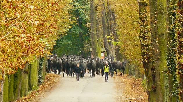 Pracovníci hřebčína vedou stádo starokladrubských vraníků zpět do  stájí. Koně i lidé přitom procházejí právě slatiňanskou Kaštankou.