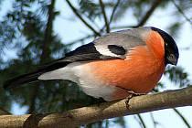 Hýl obecný (Pyrrhula pyrrhula) - sameček.