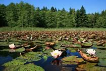 Jedním zcílů cykloexkurze bude i lesní rybníček Boušovka sporosty leknínů.