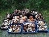 Hlinecký houbař nanosil za týden z lesa přes tisíc hřibů