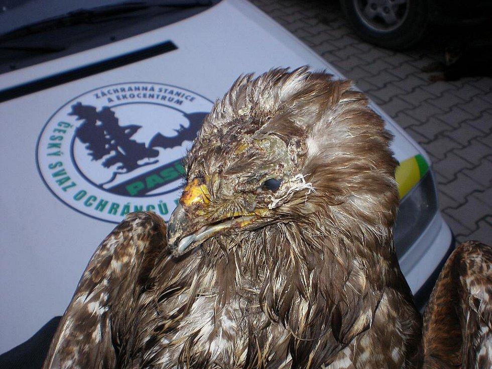 Dvě káňata byla nalezena v okolí městyse Žumberk. Mají otrhané peří na hlavě, fraktury lebky. Jeden pták dokonce přišel o oko.