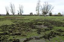 Tréninkové hřiště na chrasteckém stadionu připomíná jedno velké oraniště. Prasata tu hledají pod pláštíkem tmy potravu.