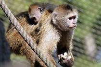 Prodej opic se nakonec vesničanům nevyplatil. Ilustrační foto