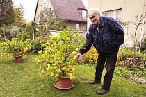 Zahrádkář a pěstitel Josef Chvojka u jednoho ze svých citronovníků.