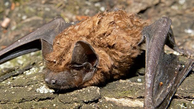 Netopýr rezavý (Nyctalus noctula) se po hybernaci vyhřívá na jarním sluníčku.