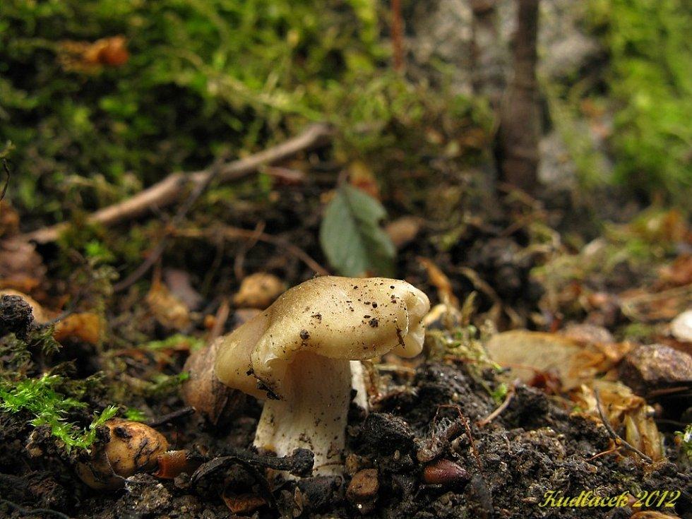 Závojenka podtrnka je houbou jedlou.