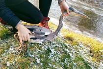 Volavka má zraněné křídlo.