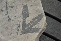 Zkamenělé listy 95 milionů let staré.