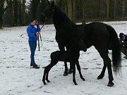 První hříbě narozené ve slatiňanském hřebčínu v tomto roce vyrazilo na procházku