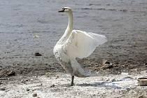 Ryby v Zámecký rybníku v Heřmanově Městci jsou nakaženy herpes virem, bude nutné ho vylovit.