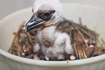 Čapí mládě se má čile k světu, totéž platí o jeho sourozenci. Třetí ptáček se z vejce živý nedostal.