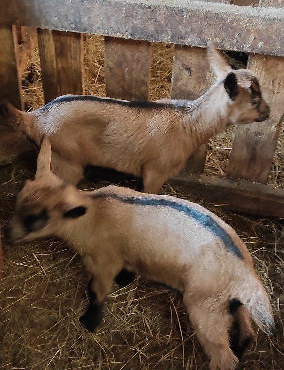 Kozy rodí jako divé, farma má čtyřicet kůzlat