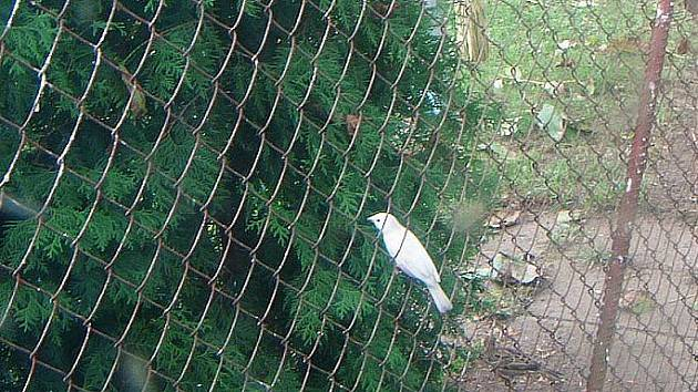 Vrabec - albín.