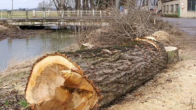 NĚKTERÉ KMENY mají průměr i 180 centimetrů. Mnoho lidí dřevo z těchto listnáčů použije na vytápění svých obydlí. Obec s nimi sepsala o kácení smlouvu.