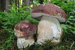 Hřib borový (boletus pinophilus) patří mezi jedlé houby