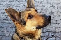 Kazan: čtyřletý německý ovčák vhodný pro zkušeného psovoda. Jde bohužel o nevychovaného dominantního psa, který si je vědom své síly. Správným přístupem je však zvládnutelný. Rozhodně není vhodný do rodiny s dětmi. Dobrý hlídač.