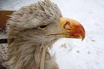 Samice kriticky ohroženého orla mořského zemřela na následky srážky s vlakem u Semanína.