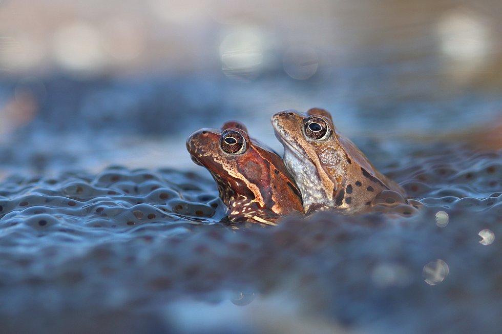Zátarasy brání hromadnému úhynu roztoužených žab
