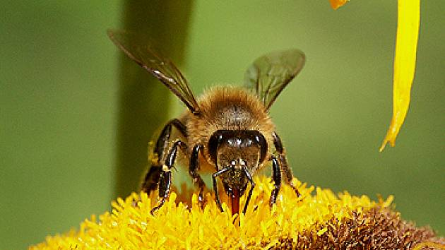 Včela medonosná.