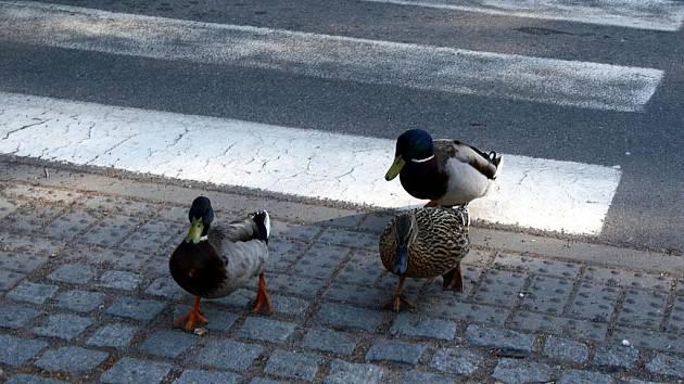 Ukáznění kachní chodci dodržují dopravní předpisy a přecházejí vozovku zásadně jen po přechodu pro chodce.