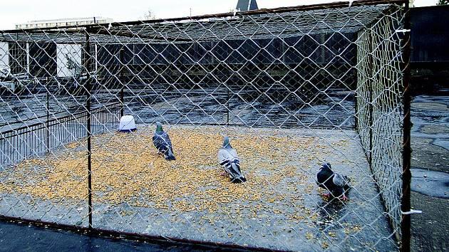 Přemnožení holubi obtěžují celou Chrudim