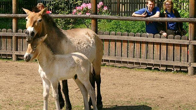Křtiny hříběte koně Převalského ve Slatiňanech. Hříbátko dostalo jméno Matyas.