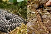 Kresba na hřbetu se téměř shoduje. Na snímku vlevo je zmije obecná, vpravo se plazí užovka hladká. Lidé si tyto hady často pletou, z čehož vznikají fámy.