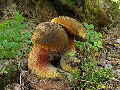 Začátkem června se v lesích dají najít především hřiby kováře.