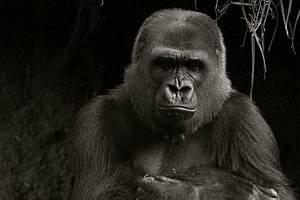 Starý mobil nevyhazujte, pomůže gorilám