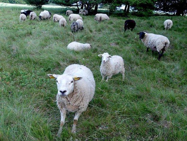 Ovce spásají zelenou hmotu a rozrušují půdní drn, čímž pomáhají rostlinám v růstu.