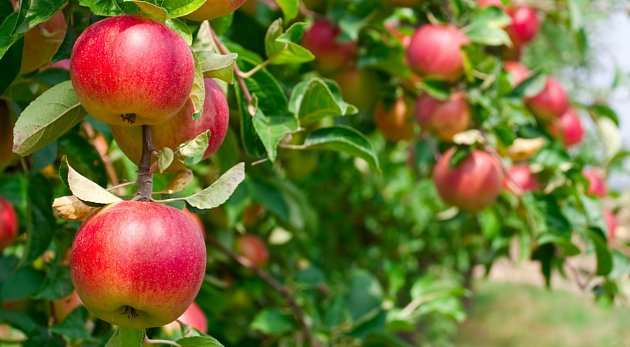 Brambor je dost, jsou levné, ale jablka letos pomrzla