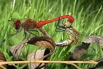 Vážky rudé při páření.