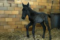 První letošní hříbě narozené ve Slatiňanském hřebčíně je 'kluk' nesoucí poněkud exotické jméno Sacramoso Barberia X 19.