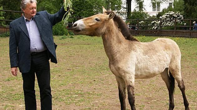 Správce plemenné knihy koně Převalského Evžen Kůst krmí Karla.