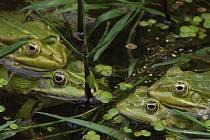 Skokan zelený (Rana klepton esculenta).