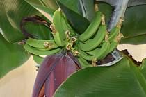 Banány se už pomalu klubou