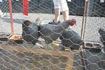 Výstava zvířectva jičínských chovatelů.