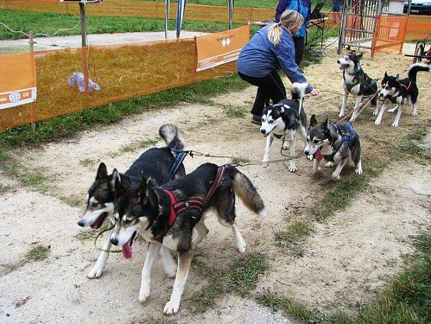 Ze závodů psích spřežení pod Zebínem.