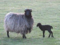 Ovce vřesová s jehnětem.