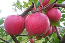 Odrůda jablek Blaník.