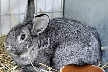 Chovatelé vystaví nejen králíky, ale i ptactvo a další zvířata.