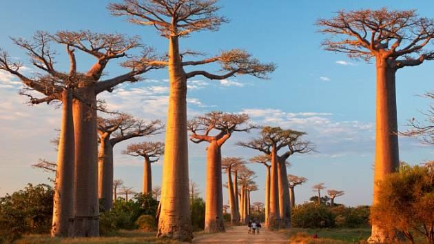 Z Madagaskaru - Baobab avenue.