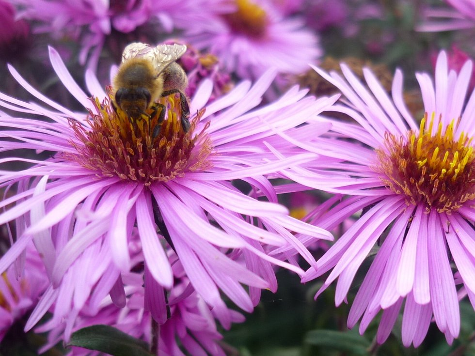 Včely na podzim.