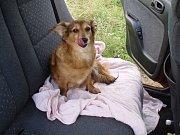 I psi se rádi vozí autem.