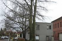 Strom ohrožující budovu u nemocnice.