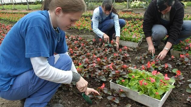 Letničky z kopidlenské zahradnické školy poputují na výsadby v regionu.